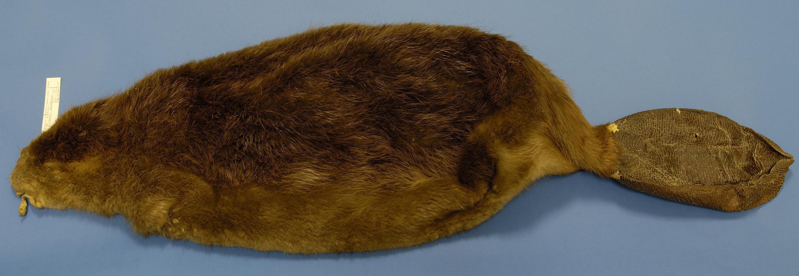 The Beaver Hat ec4f22e4e6c